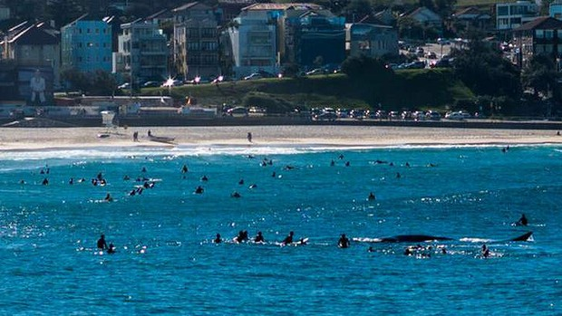 Bondi Beach - surfers around a whale (SMH)