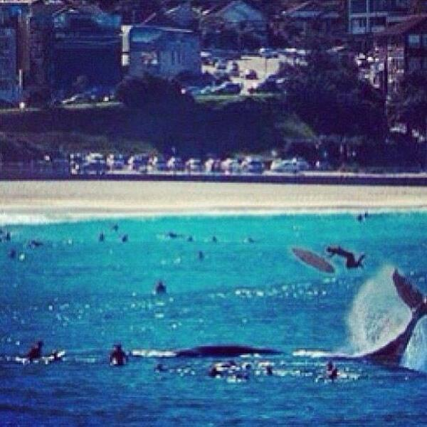 Whale flips surfer into the air at Bondi Beach?